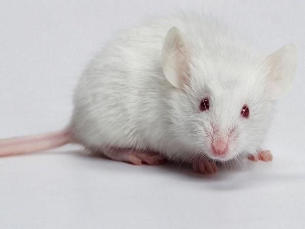 Con số nào may mắn đằng sau giấc mơ thấy chuột