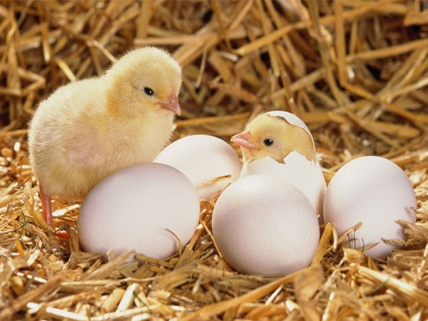 Mơ thấy trứng gà chơi xổ số con gì