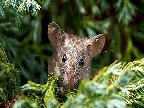 Bí ẩn giấc mơ thấy chuột và con số may mắn tương ứng