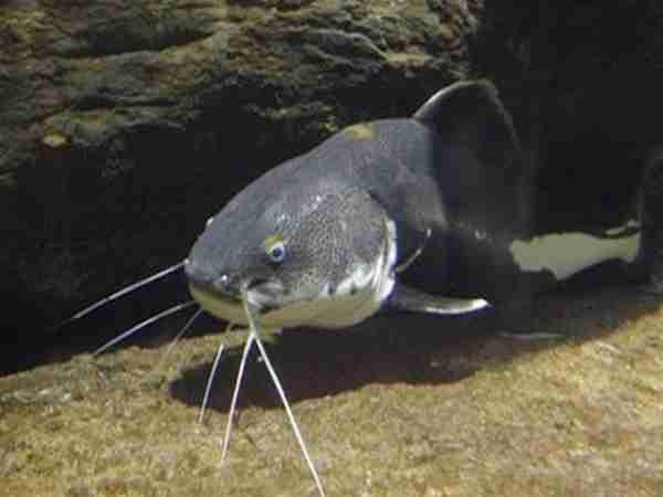 Mơ thấy cá trê - Nằm mơ thấy cá trê đánh con gì chuẩn xác