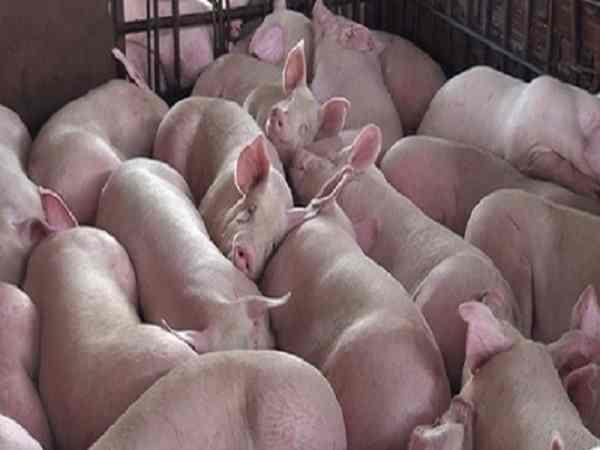 Mơ thấy lợn là điềm báo gì