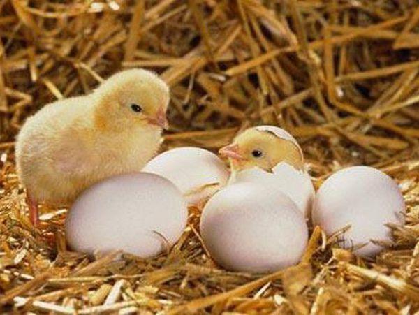 Mơ thấy gà con mới nở đánh con xổ số gì dễ trúng nhất?