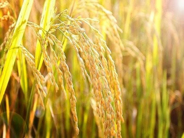 Mơ thấy lúa là điềm báo lành hay dữ?