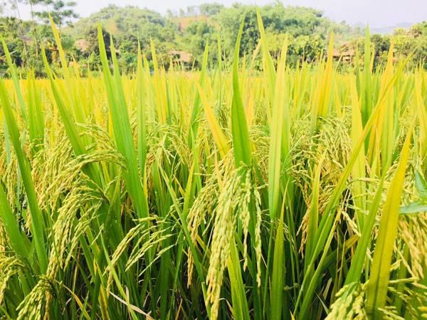 Nằm mơ bạn thấy mình gặt lúa chín vàng đánh con gì?