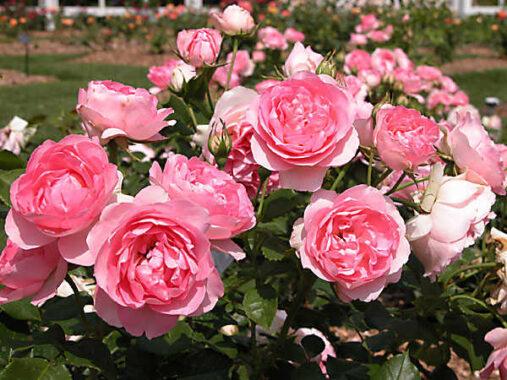 Nằm mơ thấy hoa hồng đánh con gì ăn chắc? Mang ý nghĩa gì?